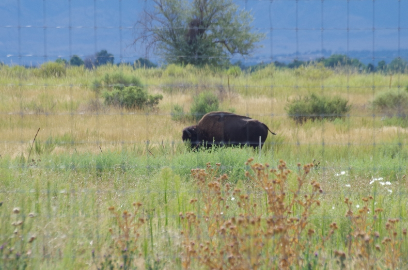 First several bison we saw were behind a flimsy fence but rather close to us...