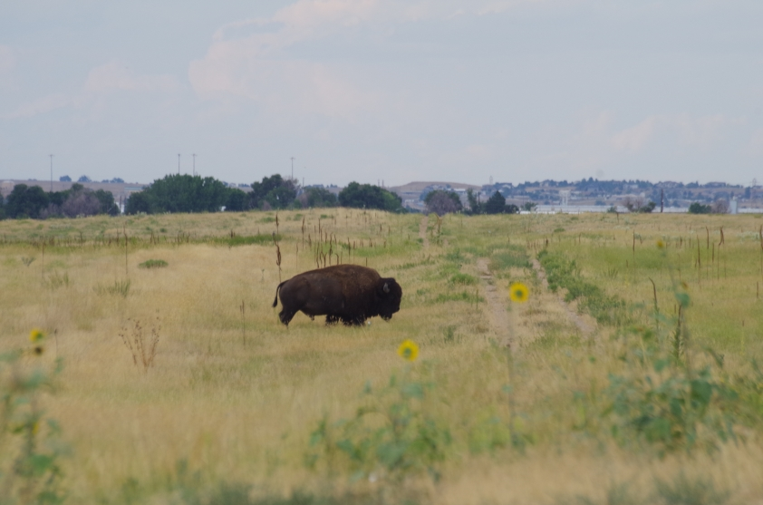 ... so we got VERY close to a wild bison with no walls or protection besides our Mercedes steed. Gorgeous animals with a frightening amount of power.