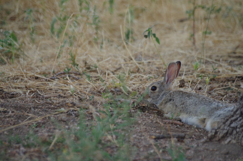 This was one of several eastern cottontail rabbits whose reaction to us (potential predators) and the baking 100 degree heat... was to just splay out in the shade and not run from us. It was too hot to run.