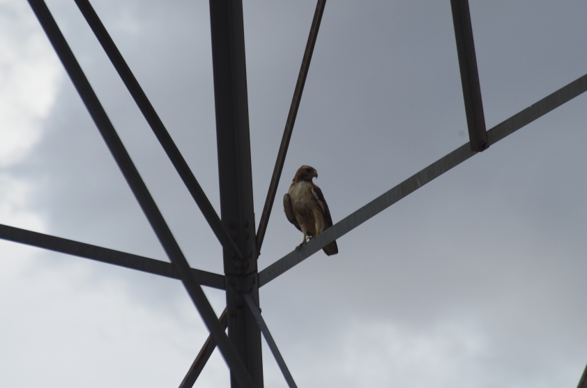 One of two or three magnificent red-railed hawks we saw as we drove, this handsome fellow was kind enough to land on a power line frame for me to grab ~a thousand photos so I could pick out this, the best one, to post here.